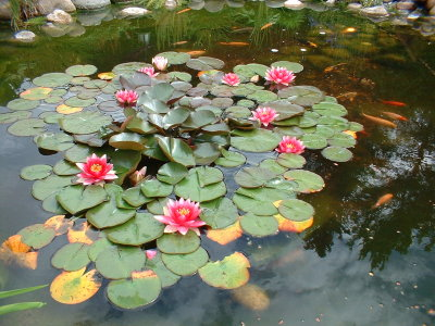 Vannlilje med 9 blomster